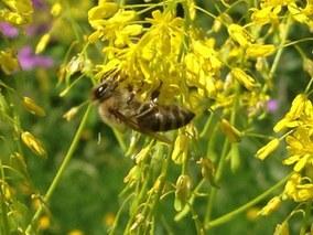 Wirkmechanismus von Pestiziden auf Bienen